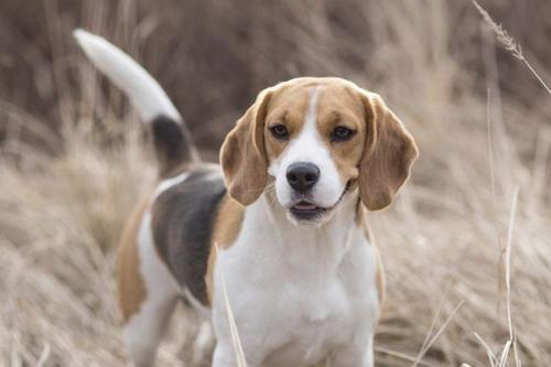 Beagle – Μπίγκλ