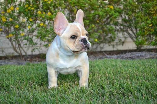French Bulldog – Γαλλικό Μπουλντόγκ