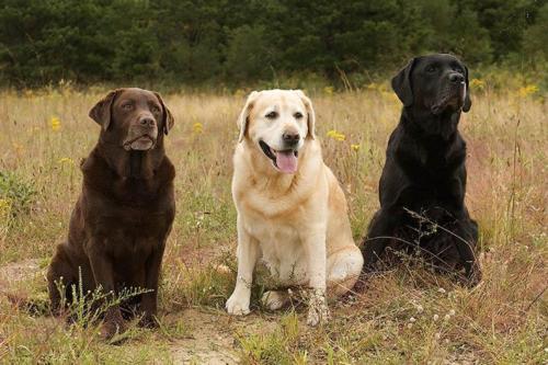 Labrador Retriever – Λαμπραντόρ