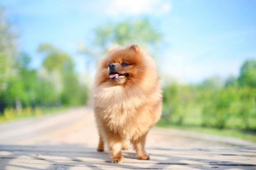 Pomeranian – Πομερανίας