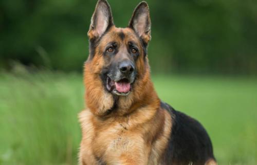 German Shepherd (Alsatian) – Γερμανικός Ποιμενικός (Αλσατίας)