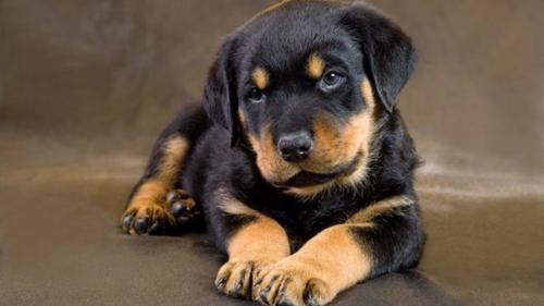 Rottweiler – Ροτβάϊλερ