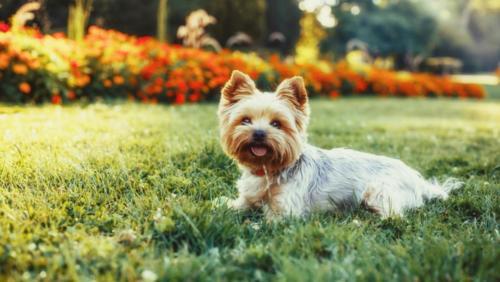 Yorkshire Terrier – Γιορκσάιαρ Τεριέ